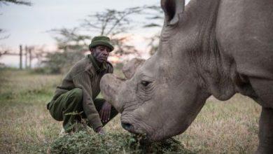 Photo of Philosophy of Northern White Rhinos