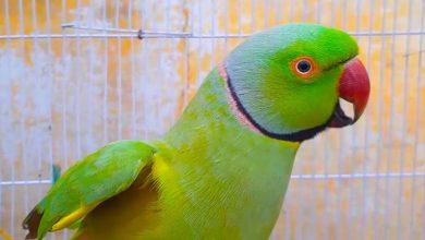 Photo of Parrot a talking pet