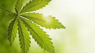 Photo of Cannabis Has A Long History Of Medicinal Use