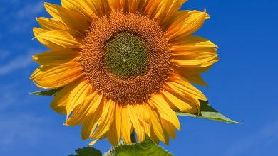 Photo of Sunflower- Top 6 Health Benefits Of Sunflower You Should Know
