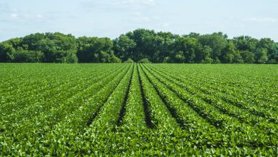 Photo of Cultivation of Soybean in India – Complete Information