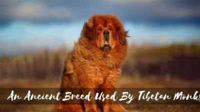 Photo of Tibetan Mastiff: An Ancient Breed Used By Tibetan Monks