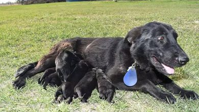 Photo of Visiting Black German Shepherd Puppies for Sale to Adopt a Healthy Dog